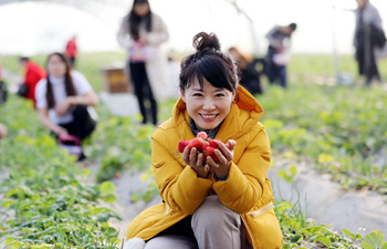 Citizens enjoy picking strawberries in greenhouse in north China's Hebei