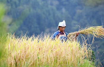 Villagers harvest paddy rice in China's Guizhou