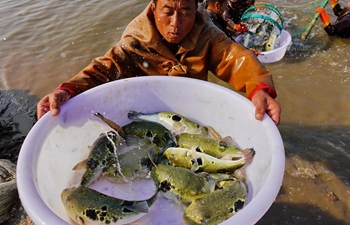 In pics: breeding farms of puffer fish in Tangshan, China's Hebei