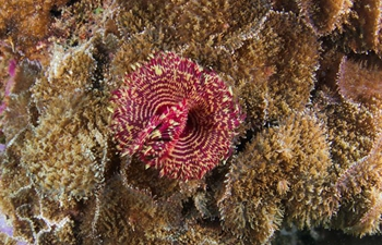 Underwater photos of Banded coral shrimps and sea urchin in China's Hainan