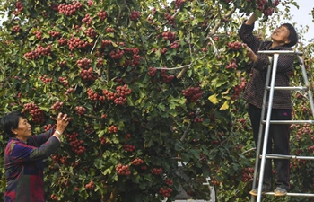 Villagers harvest hawthorn fruits in Wuyi County, China's Hebei