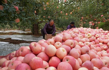 Farmers harvest apples in Neiqiu, N China's Hebei