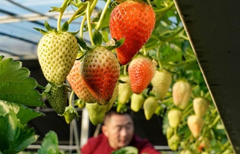 Farmers adopt eco-friendly mode of strawberry planting in Hebei