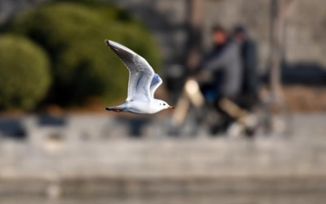 Gulls fly over Haihe River in Tianjin