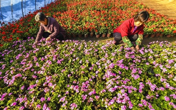 Florists work at flower cultivation base in Langfang, N China's Hebei