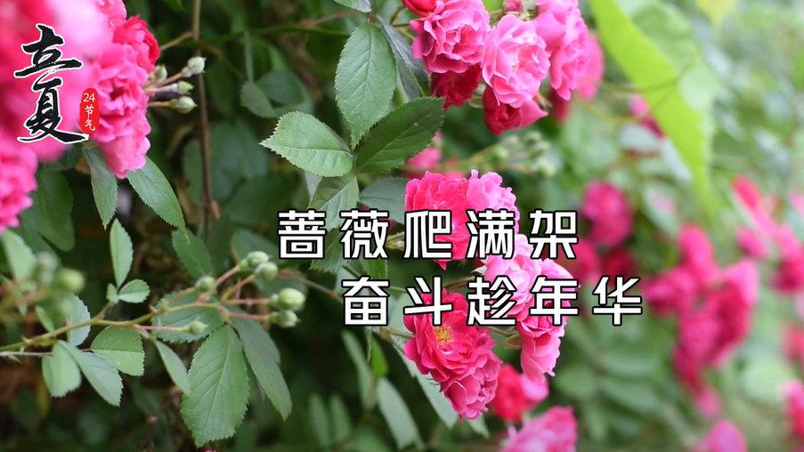 立夏:蔷薇爬满架 奋斗趁年华