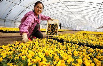 Farmers plant flowers in N China's Hebei