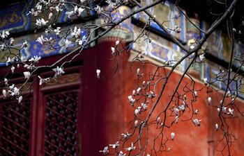 Yulan magnolia flowers bloom at Tanzhe Temple in Beijing