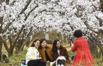 Blooming apricot trees attract tourists in N China's Hebei