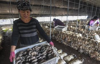 Farmers pick mushrooms at production base in Fucheng, N China's Hebei