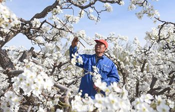 Farmers pollinate pear flowers in China's Hebei