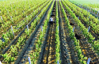 Villagers work at vineyard in Zunhua City, N China's Hebei