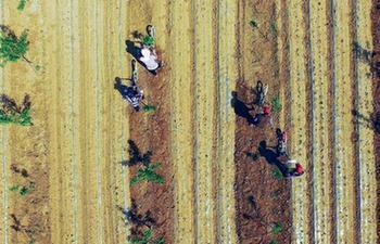 Aerial photos of farmers working in orchard in N China's Hebei