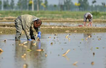 Farmers plant lotus roots in north China's Hebei