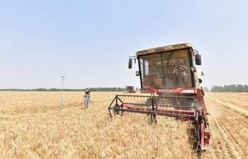 Triticale enters harvest season in China's Hebei