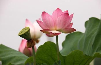 Scenery of lotus flower in China