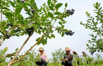 Blueberries enter into harvest season in China's Hebei