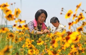 Plantation of chrysanthemum helps local people get rid of poverty in Handan, N China