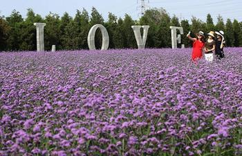 Tourists enjoy vervain flowers in Qinhuangdao, N China's Hebei