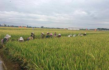 China's super hybrid rice output sets new world record