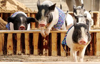 Pigs compete in races in Taer Village, N China's Hebei