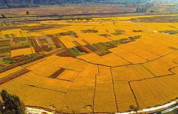 In pics: rice field in Handan, N China's Hebei
