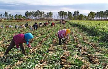 Ginger planting in agricultural restructuring benefits locals in China's Hebei