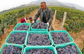 Wine grapes enter harvest season in north China's Hebei